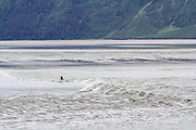 A stand-up paddle boarder surfs the bore tide on the Turnagain Arm of Cook Inlet, near Anchorage, Alaska. Bore tides happen twice a day in this shallow inlet and surfers come from around the world to ride the wave, which travels for several miles up the bay, sometimes reaching speeds of 15MPH