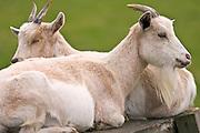 Free-range goats, Cotswolds, United Kingdom.