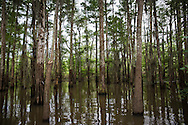 Cypress-tupelo swamps in the Atchafalaya Basin