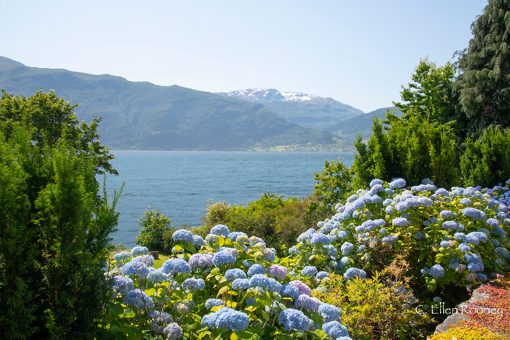 Hydrangeas in the garden of Leikanger Church overlooking snow capped peaks around Sogne Fjord, Vestlandet, Norway