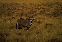 Oryx in Etosha National Park, Namibia