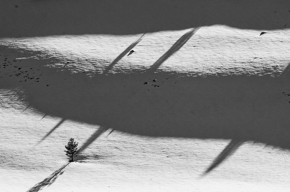 Pine trees and afternoon shadows, Inyo National Forest, Eastern Sierra Mountains, California, USA