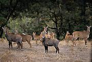 A small herd of nilgai (Boselaphus tragocamelus). Range: Pakistan and India. Captive.