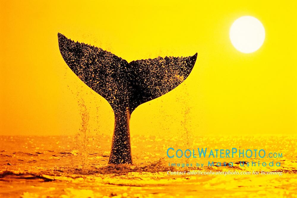humpback whale, Megaptera novaeangliae, tail-slapping or lobtailing at sunset, fluke silhouette, Hawaii, USA, Pacific Ocean, photo composite