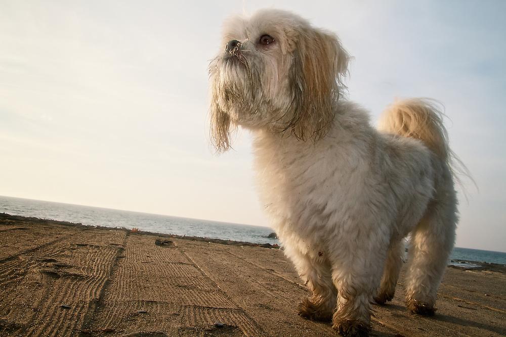 A Shih Tzu dog stands on the boardwalk