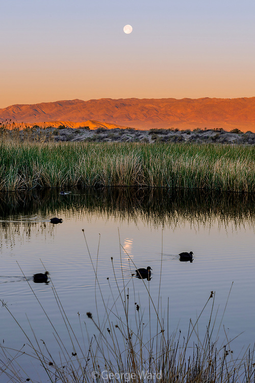 Setting Moon and Coots at Saratoga Spring, Death Valley National Park, California