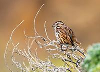 Song Sparrow, Melospiza melodia, Sonoma County, California