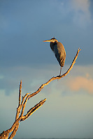 Great Blue Heron on One Leg in the Early Morning Sun. Bio Lab Road in Merritt Island National Wildlife Refuge. Image taken with a Nikon D700 and 28-300 mm VR lens (ISO 200, 300 mm, f/9, 1/320 sec).