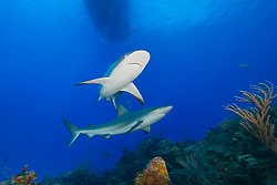 Caribbean Reef Sharks, Carcharhinus perezi, and boat, West End, Grand Bahama, Atlantic Ocean