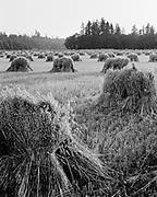 Y-560812-04.  Oat field near Activity Ranch. Sunset time, shocks of grain. Farm of Mr. & Mrs. John Boss, Rt. 2, Box 708, (Logan Road) Oregon City. August 12, 1956