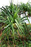 Hala tree, Pandanus, Taveuni, Fiji