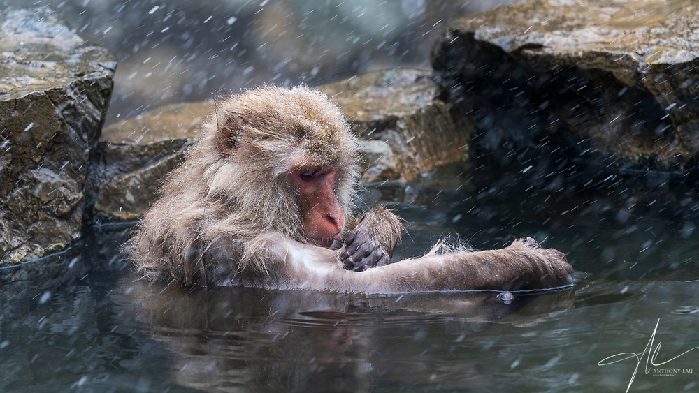 A monkey enjoying itself in the hot spa pool, as if it is healing its wound.