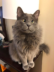"""*VIDEO AVAILABLE: info@cover-images.com*<br /> <br /> A cross-eyed rescue cat is using his unusual looks to raise thousands of dollars for charity. <br /> <br /> Belarus has been blighted with a 'confused' expression thanks to a condition called strabismus. <br /> <br /> He lives in San Francisco with owner Rachel Krall, who adopted him from a shelter after seeing him online. <br /> <br /> He was surrendered to San Francisco Animal Care & Control (SFACC) by his previous family, due to landlord issues <br /> <br /> Rachel explains: """"He is a very active and extremely curious cat.  He loves to play with balls, twist ties, and almost any other small object he can get his paws on.  He seems highly intelligent and doesn't let his wonky eyes slow him down."""" <br /> <br /> """"Dr Travis Strong partnered with us to share more about strabismus, which is the medical term for the eye condition he has. It just means that the muscles that hold his eyes in place may have an abnormal position or may be damaged, causing the gaze to be displaced.  This condition doesn't cause pain and hasn't impacted his day-to-day. <br /> <br /> """"Since his adoption, we have raised and donated $1000's to animal charities to help other animals in need through his online presence.  In 2019, we partnered with Friends of SFACC, Cat Town of Oakland, and Sonoma Community Animal Response Team."""" <br /> <br /> Belarus merchandise:  http://www.belarusthecat.com/merchandise/<br /> <br /> Where: San Francisco, United States<br /> When: 23 Mar 2020<br /> Credit: my_boy_belarus/Cover Images<br /> <br /> **MANDATORY CREDIT: Rachel Krall/Cover Images. Only for use in this story. Editorial Use Only. No stock, books, advertising or merchandising without photographer's permission**"""