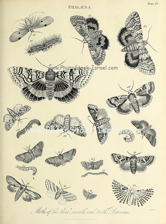 Various Months Phalaena is an obsolete genus of Lepidoptera used by Carl Linnaeus to house most moths. Phalaena was one of three genera used by Linnaeus to cover all Lepidoptera. Papilio included all butterflies at that time, Sphinx included all hawk moths, and Phalaena included all the remaining moths. The type species was Phalaena typica (now Naenia typica in the family Noctuidae). Copperplate engraving From the Encyclopaedia Londinensis or, Universal dictionary of arts, sciences, and literature; Volume XX;  Edited by Wilkes, John. Published in London in 1825