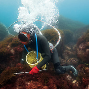 Inaba-san, the last active Ama diver in Futo harbor, searching for shellfish. The hose supplies air to her, as well as audio communication with her husband, who is on the boat. Inside the yellow net basket are Turbo sazae sea snails, which are a popular food item in Japan.