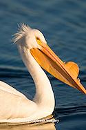 00671-008.09 American White Pelican (Pelecanus erythrorhynchos)  Riverlands Environmental Demonstration Area,  MO
