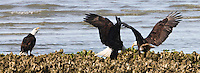 Two Bald Eagles (Halietus leucocephalus), on a Hood Canal oyster bed at Big Beef Creek, in a confrontation with a third kibitzing or scolding eagle to the side.