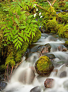 The twisted stalk hung over the small creek, its purple fruits glistening in the soft light of the forest interior.  All the exposed surfaces not with flowing water were covered in a lush network of moss.