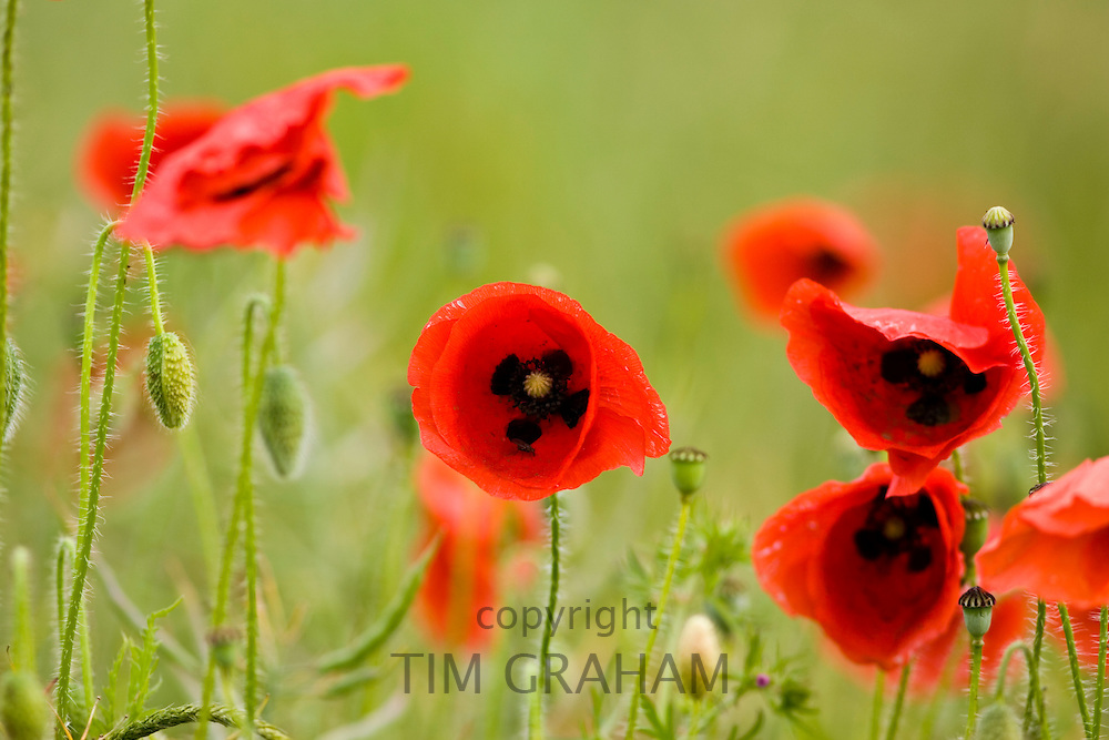 Poppies in a meadow, Gloucestershire, United Kingdom