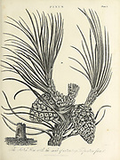 Pinus - pine tree branch with leafs and cones Copperplate engraving From the Encyclopaedia Londinensis or, Universal dictionary of arts, sciences, and literature; Volume XX;  Edited by Wilkes, John. Published in London in 1825