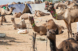 """© Licensed to London News Pictures. 21/11/2012. Pushkar, India. Dozens of camels waiting sit and stand waiting to be bought/sold at the Pushkar Camel Fair in Rajasthan, India. The Pushkar Fair, or Pushkar ka Mela, is the annual five-day camel and livestock fair, held in the town of Pushkar in the state of Rajasthan, India. It is one of the world's largest camel fairs, and apart from buying and selling of livestock it has become an important tourist attraction and its highlights have become competitions such as the """"matka phod"""", """"longest moustache"""", and """"bridal competition"""".  Photo credit : Richard Isaac/LNP"""