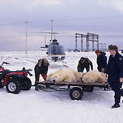 Polar Bear, (Ursus maritimus) Biologists moving problem bears out of Churchill, Manitoba. Canada.