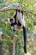 Black-and-white ruffed lemur (Varecia variegata) in Palmarium Reserve, Madagascar.