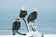 Alaska. Bald eagles on the beach in Homer.  (Haliaeetus leucocephalus)  The proud symbol of America. Grow up to 30 to 43 inches in length with 8 foot wing span at maturity  4 years.  Mate for life. Raise up to three chicks per year.
