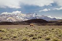GUANACOS (Lama guanicoe) EN RESERVA NATURAL LAGUNA DEL DIAMANTE, PROVINCIA DE MENDOZA, ARGENTINA