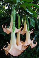 Brugmansia is a type of flowering plants of the Solanaceae family.  Fragrant and large hanging flowers give them their common name of angel's trumpets, or sometimes devil's trumpets.  All of the parts of Brugmansia can be poisonous.  Brugmansia are fragrant in the evenings to attract pollinating insects.
