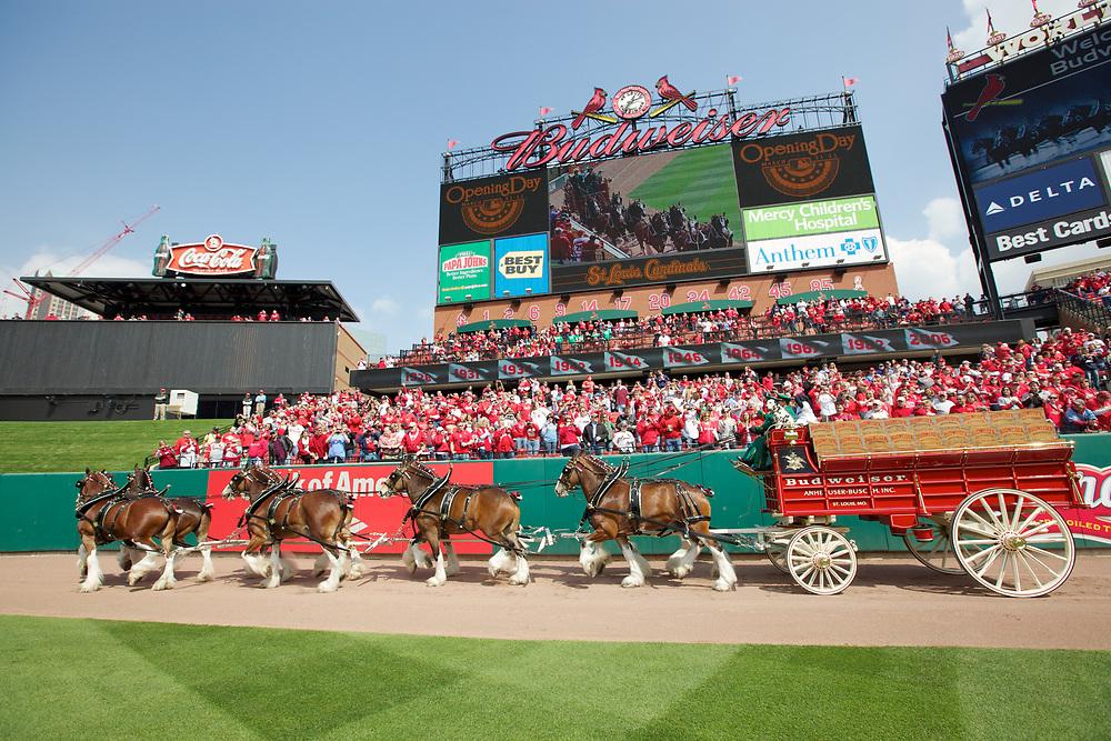 The Budweiser Clydesdales at Busch Stadium in St. Louis, Missouri.