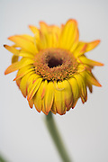 selective focused dying Gerbera flower