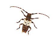 Pogonocherus hispidulus - a longhorn beetle