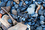 Fragment of animal jawbone with teeth among coal lumps, old animal bones, and black pebbles on the Thames foreshore, Greenwich, London.