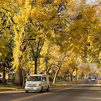 Fall-colored beech trees line Willson Avenue in Bozeman Montana.
