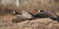 17.04.2009.Canada Goose (Branta canadensis)..Bergslagen, Sweden.