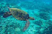 A green sea turtle swims through the clear waters off the coast of Big Island, Hawaii.