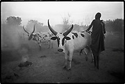 The life of an animal is a parable of man's life.   African proverb<br /> <br /> A Dinka man in a cattle camp. The Dinka are pastoralists whose lives revolve around cattle. During the dry season, men move their cattle to special camps. Much time is spent grooming the cattle. Southern Sudan  1989