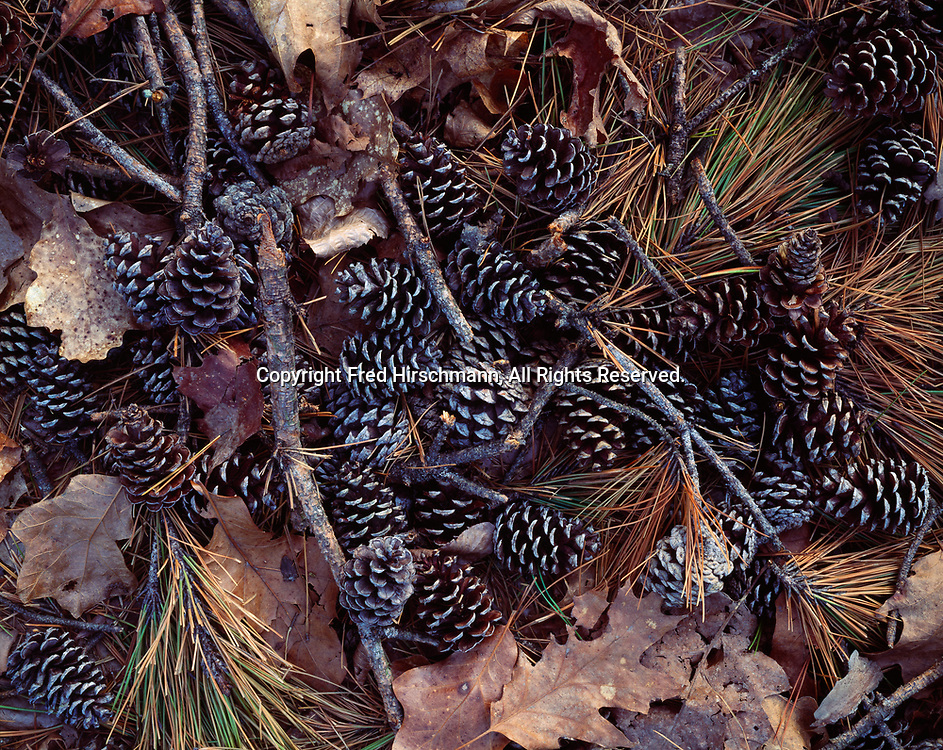 Cones and needles of shortleaf pine on forest floor, Petit Jean State Park, Arkansas.