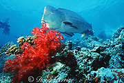 giant bumphead parrotfish, Bolbometopon muricatum, and soft coral, Dendronephthya sp., Sipadan Island, Sabah, Malaysia ( Celebes Sea / Western Pacific Ocean )