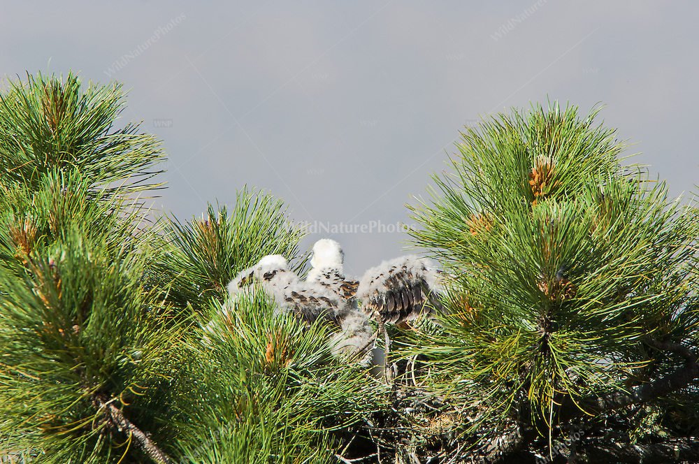 Short-tailed Hawk (Buteo brachyurus) nestling, losing down feathers; Arizona (Nesting Record)