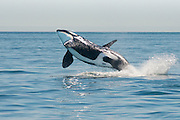 A rare opportunity is to be close enough to see and photograph a Killer Whale breach from the ocean. This image is 1 of 3 stages of the breach.
