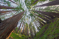 Wide Angle Looking up from a Coastal Redwood Forest. Image taken with a Nikon D3x and 14-24 mm f/2.8 lens (ISO 100, 14 mm, f/16, 2.5 sec). Raw image converted using Adobe Camera Raw 6.2 (landscape and used lens correction). HDR of 5 images (+2, +1, 0, -1, -2 EV) using Photoshop CS5 HDR Pro (photorealistic).