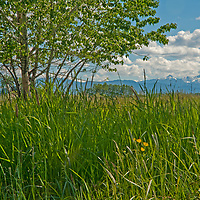 Cottonwood trees shade a pasture in Montana's Gallatin Valley near Bozeman.  Behind are the Spanish Peaks