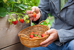 Harvesting strawberries into a wicker basket
