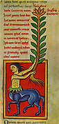 A plant of Centaury from a 13th century Anglo-Norman herbal.  The plant is named after Chiron the Centaur who in Ancient Greek legend cured a wound from a poisoned arrow with Centaury. The Anglo-Saxons used it as a treatment for snake bite.