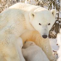 Mother polar bear nursing her two cubs in Wapusk National Park south of Churchill Manitoba Canada near the Hudson Bay.