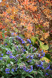 Spiraea japonica 'Goldflame' with Pulmonaria 'Trevi Fountain'