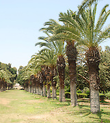 Israel, Mikveh Israel, the first Jewish agricultural school in Palestine. Established 1870. Palm plantation,