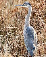Great Blue Heron (Ardea herodias). Image taken with a Nikon N1V3 camera and 70-300 mm VR lens.